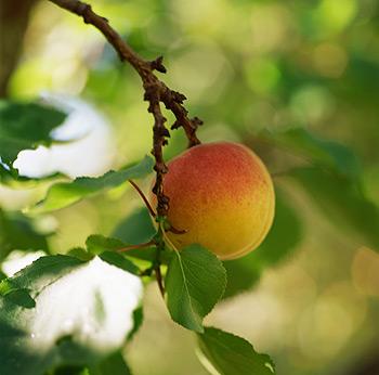 калорийность персиков